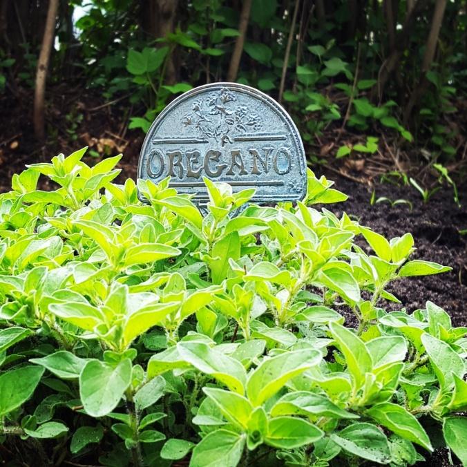 Oregano in Garden | www.jenniferdyck.com