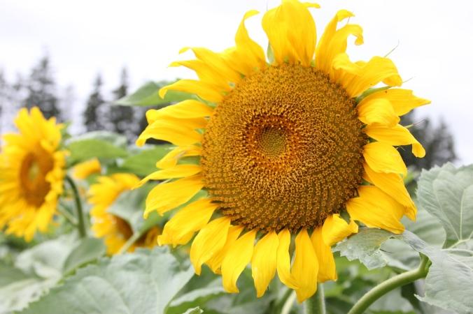 www.jenniferdyck.com | Sunflower Field